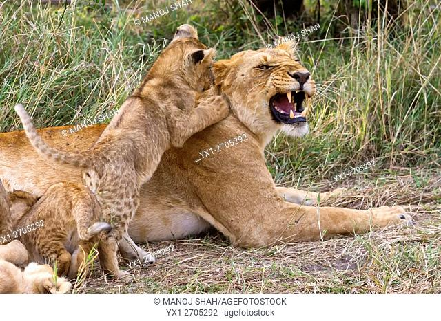 Lion Cub playing with Lioness
