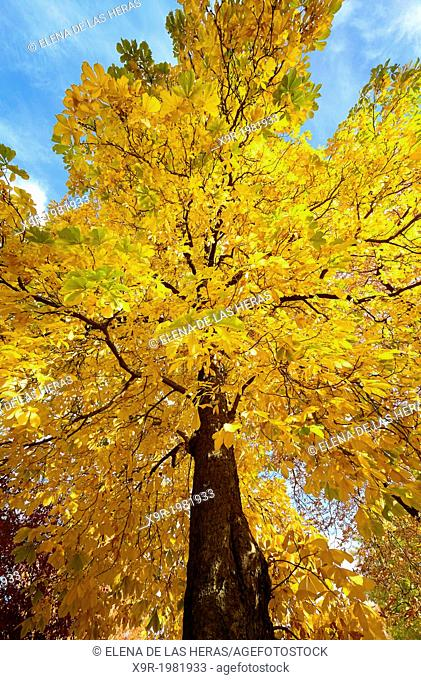 Conker tree (Aesculus hippocastanum) in autumn at the Royal Botanical Garden. Madrid. Spain