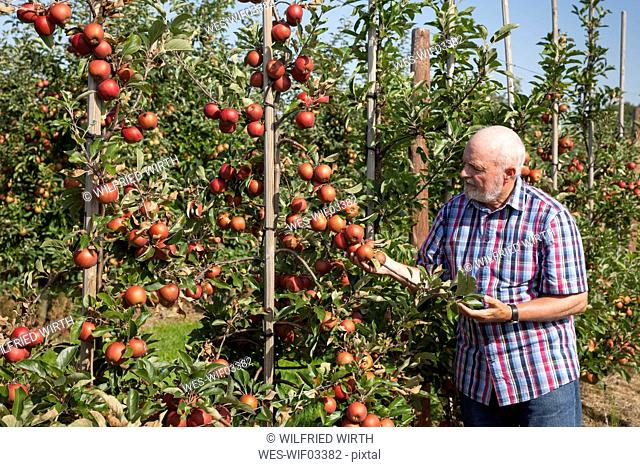 Senior man examining fruits on an apple plantation