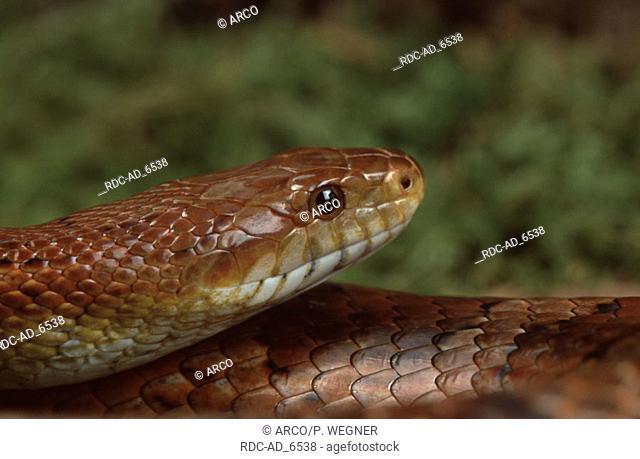 Red Rat Snake Elaphe guttata Corn Snake