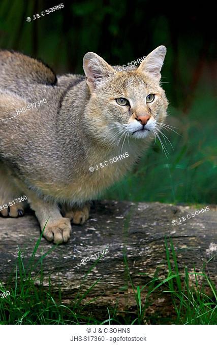 Jungle Cat, Swamp Cat, (Felis chaus), adult alert portrait, Asia