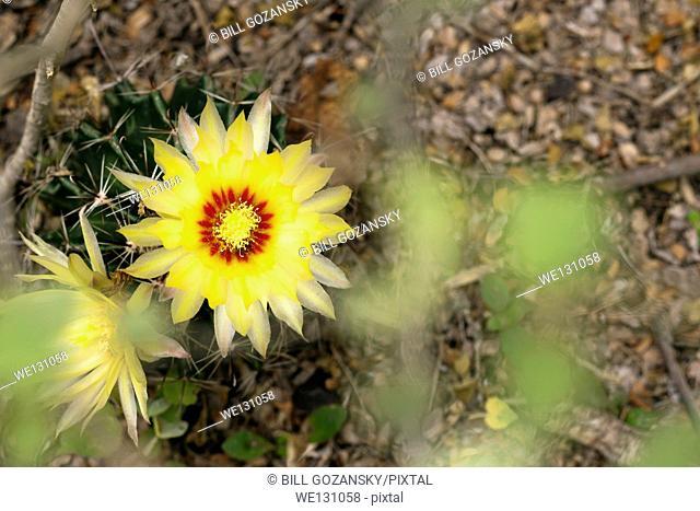 Yellow Coryphantha Cactus Flower - Camp Lula Sams - Brownsville, Texas USA