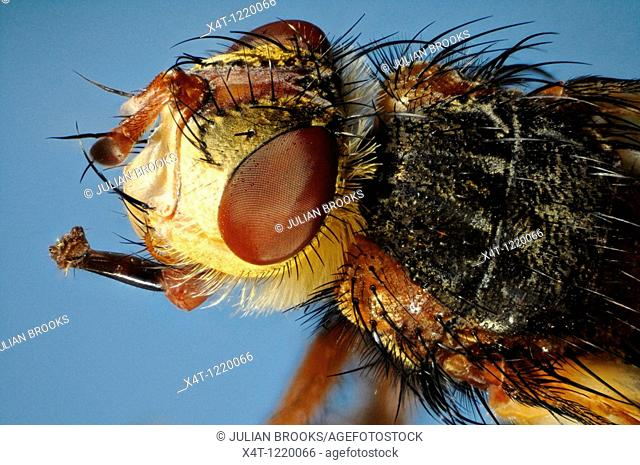 Extreme close up of the head and thorax of the fly Larvaevora fera, family Tachinidae showing extended mouthparts