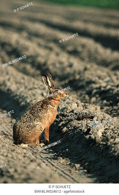 European hare Lepus europaeus