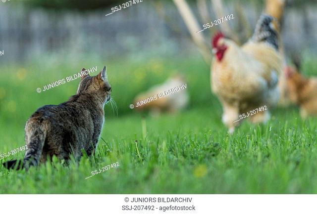 Niederrheiner Chicken. Tabby domestic cat meeting cock on a meadow. Germany
