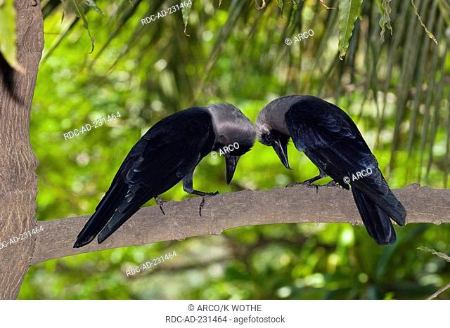 House Crows, pair, Chennai, India, Corvus splendens