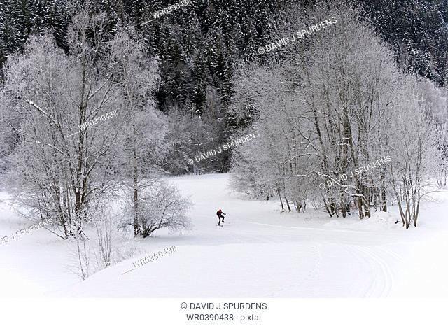 A cross country skier travelling through a snow covered forest