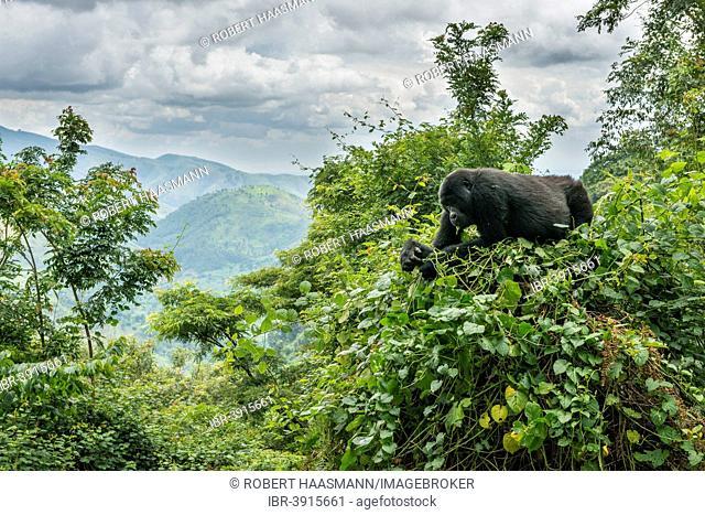 Mountain Gorilla (Gorilla beringei beringei) in the habitat, Bwindi Impenetrable National Park, Uganda