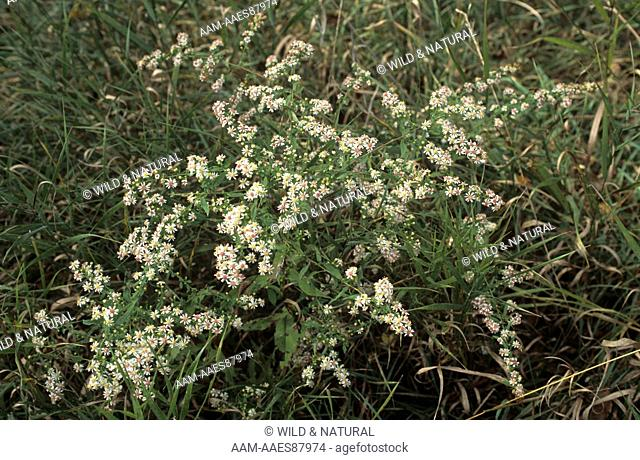 Calico Aster (Aster lateriflorus)