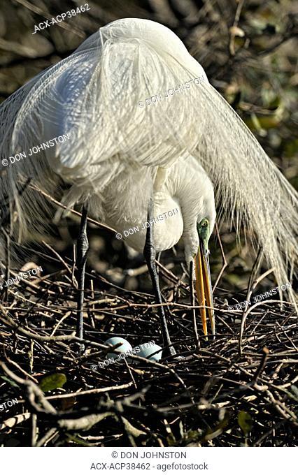 Great egret Casmerodius albus, Ardea alba, Egretta alba Tending nest and eggs, St. Augustine Alligator Farm Zoological Park, Florida, United States of America