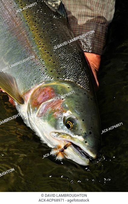 Dean River Steelhead, Oncorhynchus mykiss, British Columbia, Canada