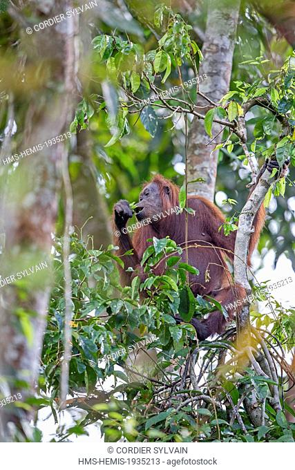 Malaysia, Sabah state, Kinabatangan river, Bornean orangutan( Pongo pygmaeus morio), adult female