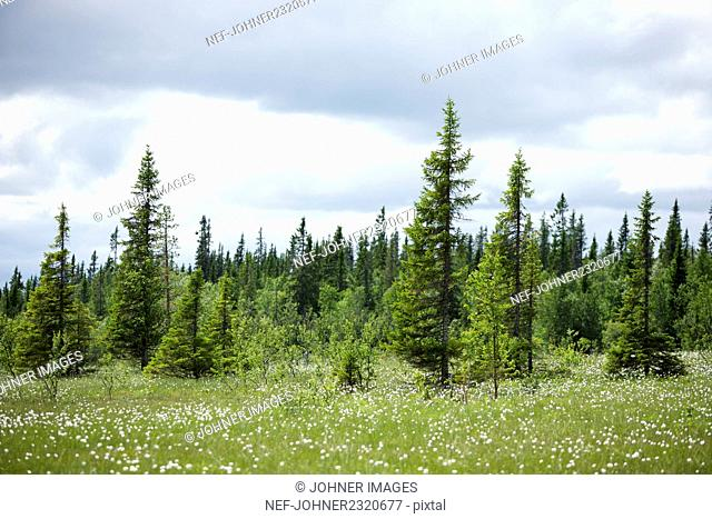 Meadow and trees, Jamtland, Sweden