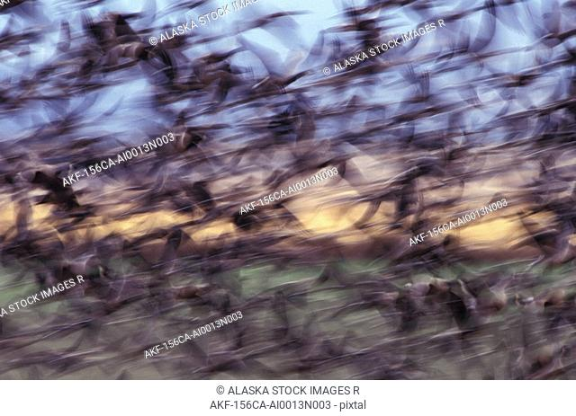 Large Flock of Canadian Geese in Flight Migration AK