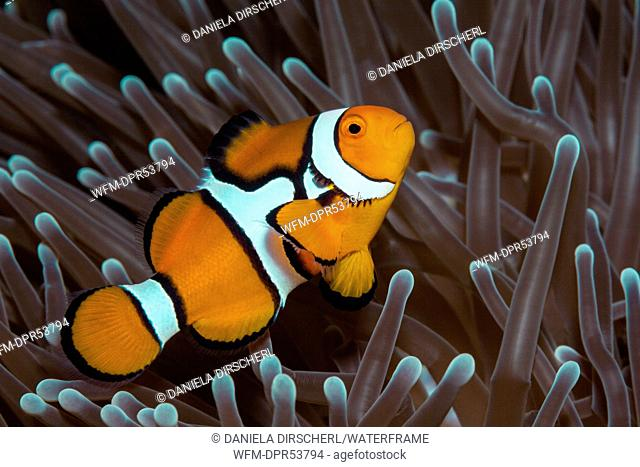 Clown Anemonefish, Amphiprion percula, Great Barrier Reef, Australia