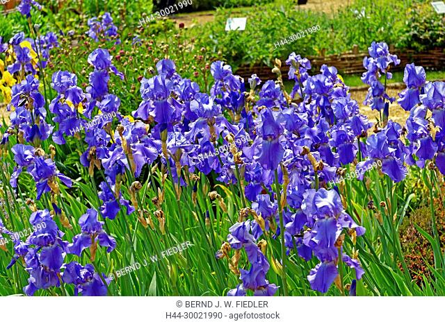 Jardin Médivial, Schwertlilien, blau