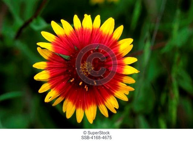 USA, Texas, Austin, Close-up of Indian Blanket