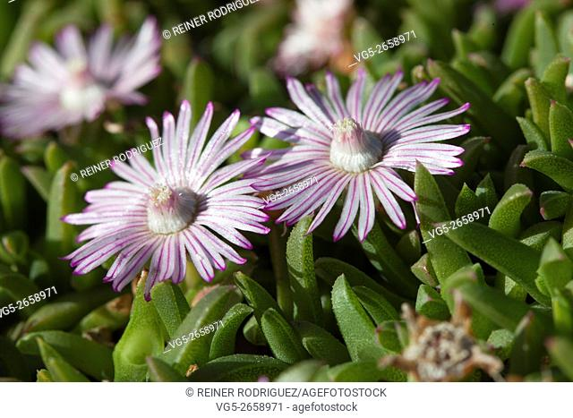 plants in a park in Barcelona, Spain. succulent small plant flowering in violet white