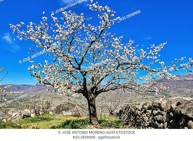 Cherry trees (Prunus cerasus), Cherry trees in full blossom, Jerte Valley, Cáceres province, Extremadura, Spain