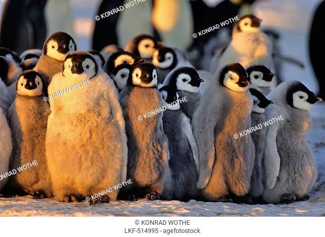 Emperor Penguins with chicks warming, kindergarden, Aptenodytes forsteri, Antarctica