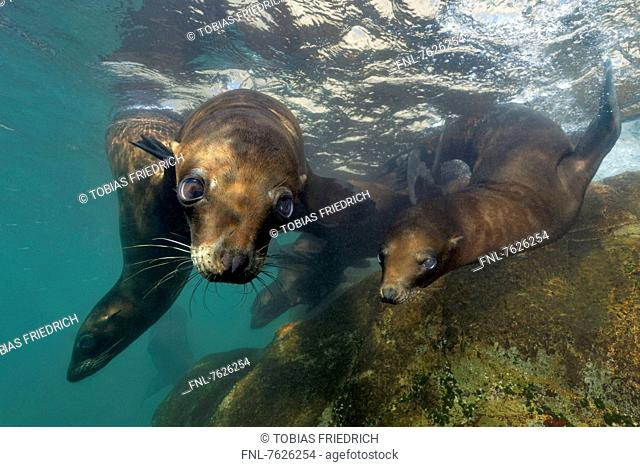 Guadalupe fur seals (Arctocephalus townsendi) playing in shallow water, Islas San Benito, Mexico, underwater shot