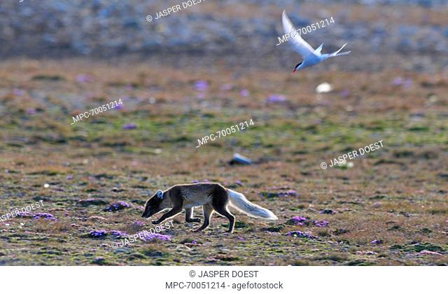 Arctic Fox (Alopex lagopus) being attacked by Arctic Tern (Sterna paradisaea), Svalbard, Norway