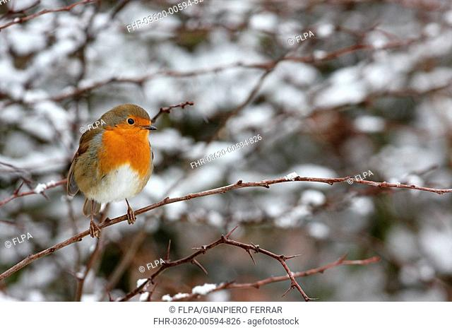 European Robin Erithacus rubecula adult, perched on twig in snow covered hedgerow, Leicestershire, England, january