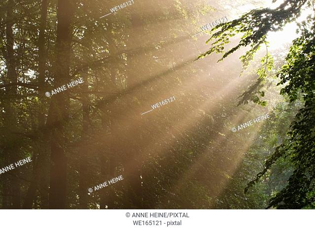 Sunbeams shining through forest trees. As seen in Belecke, Arnsberger Wald, Sauerland, Germany