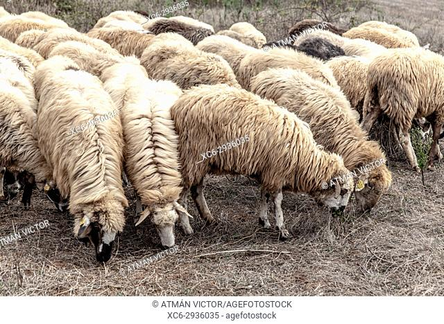 Loose sheep grazing on the countryside. San Cristobal de La Laguna, Tenerife, Canary Islands, Spain