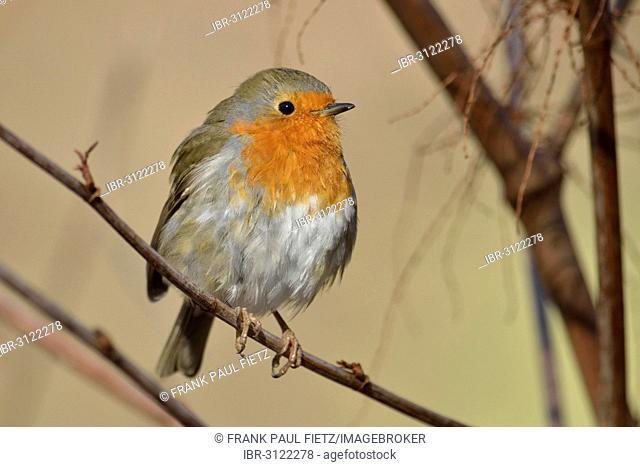 Robin (Erithacus rubecula), Dortmund, Ruhr district, North Rhine-Westphalia, Germany