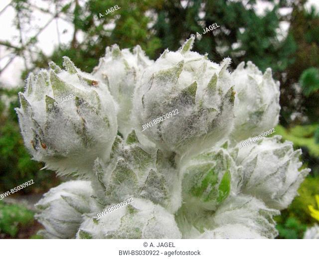 Sonchus acaulis (Sonchus acaulis), buds of capitulae