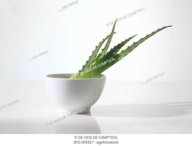 Aloe vera leaves in a bowl