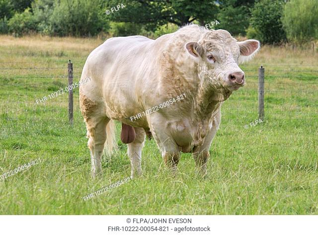 Domestic Cattle, Charolais bull, standing in pasture, Stockport, Cheshire, England, August