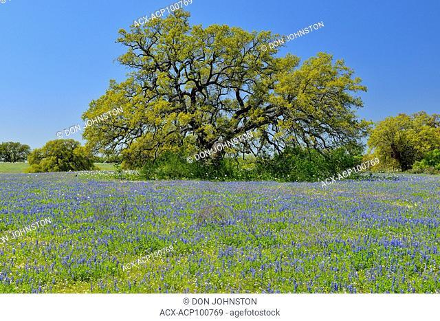 Oak trees and Texas bluebonnets, FM 476 near Poteet, Texas, USA