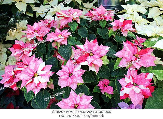 Cluster of pink and white poinsettias with off white poinsettias in the background