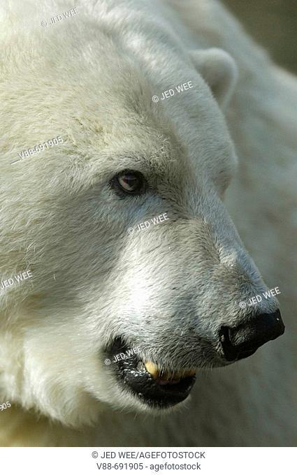 Polar bear (Ursus maritimus) Mercedes, the only polar bear to be found in a UK Zoo. Edinburgh Zoo, Scotland, UK