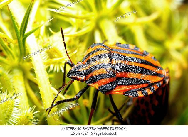 Italian striped-bug / Minstrel bug / Harlequin bug (Graphosoma lineatum / Graphosoma italicum)
