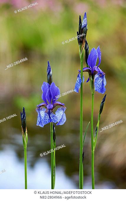 Siberian iris (Iris sibirica) blooming in marsh forest meadow - Hesselberg region, Bavaria/Germany