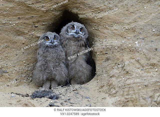 Eurasian Eagle Owls / Europaeische Uhus ( Bubo bubo ), grown up chicks, standing close together at the entrance of their nest burrow, funny, wildlife