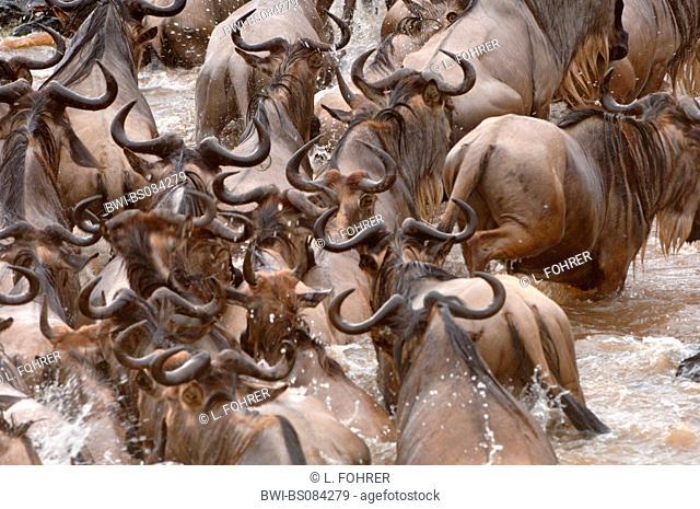 blue wildebeest, brindled gnu, white-bearded wildebeest (Connochaetes taurinus), herd crossing Mara River, Kenya, Masai Mara National Park, Narok