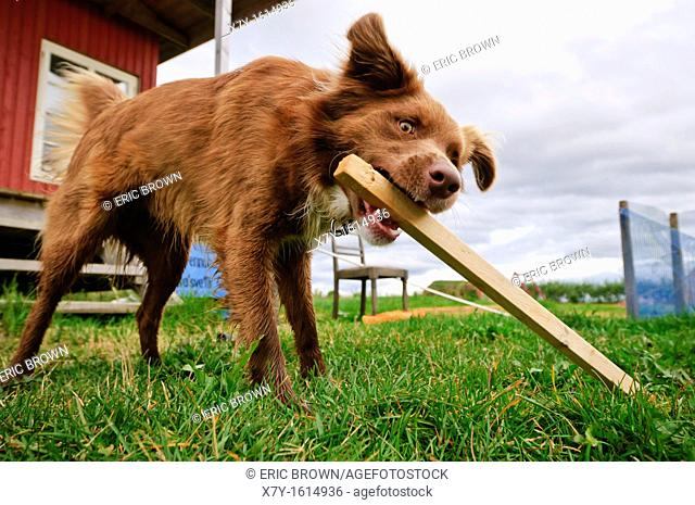 A dog playing with a piece of wood