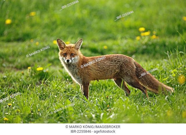 Red fox (Vulpes vulpes), vixen, Bad Hersfeld, Hesse, Germany, Europe