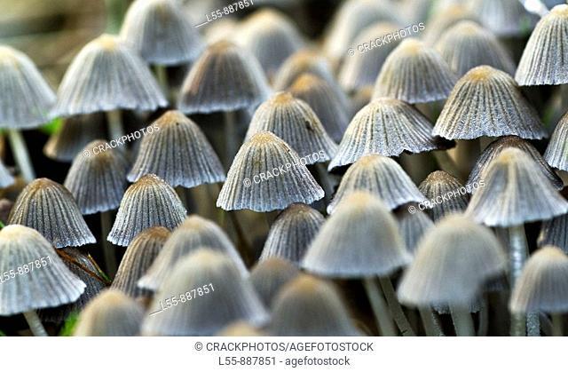 Mushrooms (Coprinellus disseminatus)