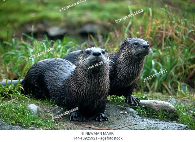 river otter, lutra canadensis, otter, animal, USA, United States, America