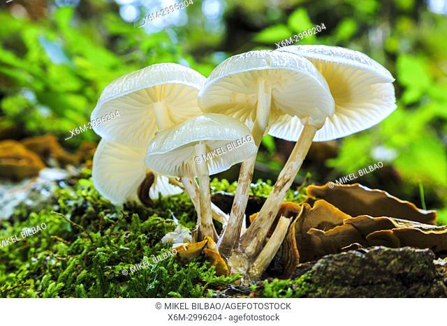 Porcelain fungus (Oudemansiella mucida). Otsaportillo route. Urbasa-Andia Natural Park. Navarre, Spain, Europe