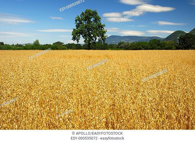 Field with golden ripe oats, Switzerland