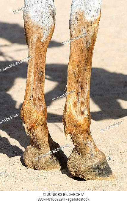 Arabian Horse. Front legs of a horses dyed with henna paste. Abu Dhabi