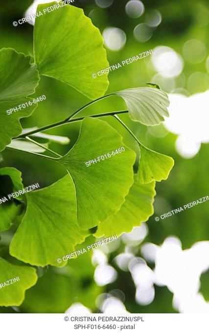 Ginkgo biloba (Ginkgoaceae) leaves, close up