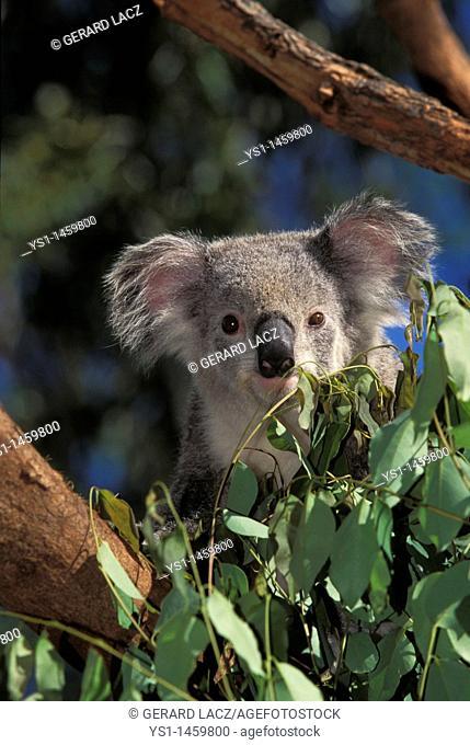 KOALA phascolarctos cinereus, ADULT STANDING IN TREE, AUSTRALIA