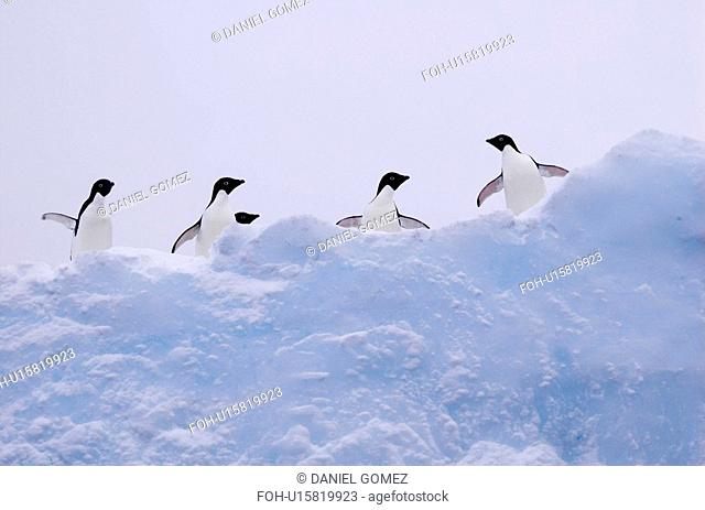 Adelie penguins Pygoscelis adeliae on iceberg, near Danco Island, Antarctic Peninsula